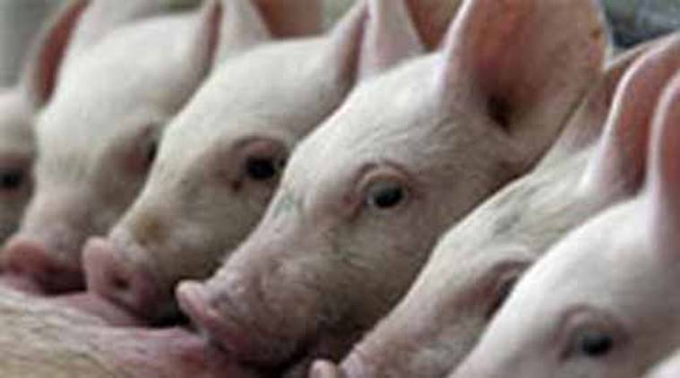 Nagaland partially lifts ban on import of pigs