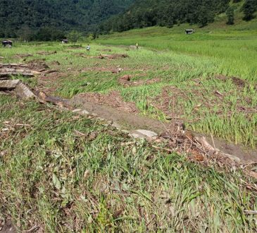 Paddy field destroyed