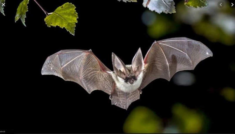 Coronavirus in China may have come  from bats: Studies