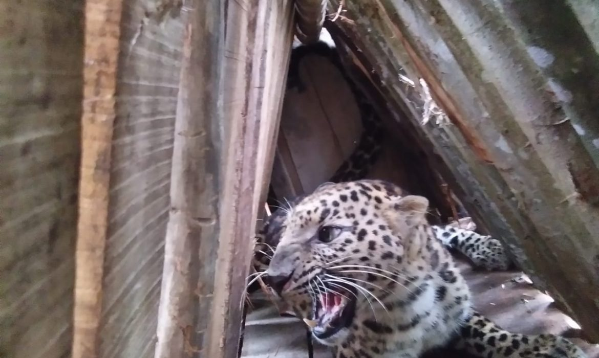 Trappers catch leopard at Tuli